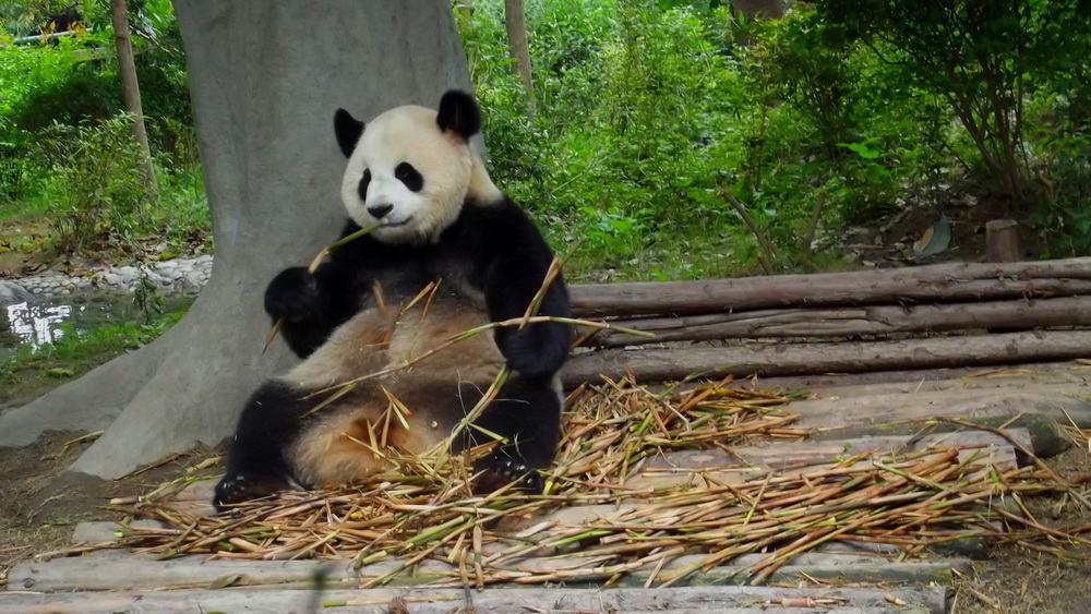 Pandabezoek China